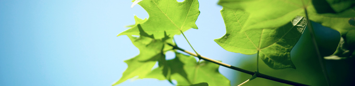 """Closeup of leaves against a blue sky."""